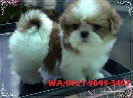 Di jual Anjing Mini Shih Tzu